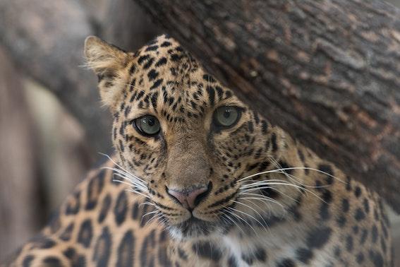 Jaguar Katrin Aschermann